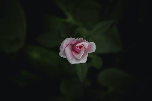 Fotobanka sbezplatnými fotkami na tému krása v prírode, krásny kvet, ruža