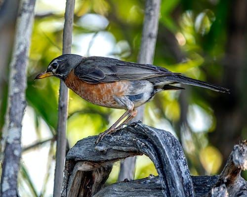 Free stock photo of bird, profile, robin