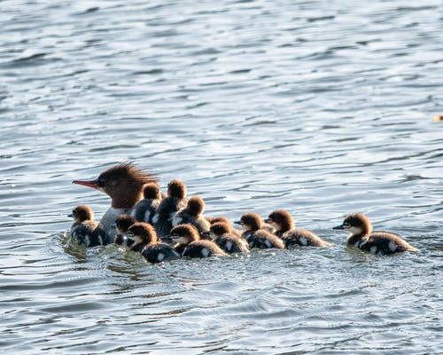 Free stock photo of birds, Merganser, waterfowl