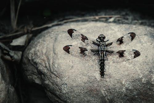 Photos gratuites de effrayant, insecte, libellule, monochromatique