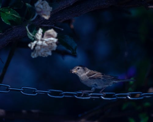 Free stock photo of bird, blue, chain