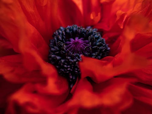 Macro Photography of Poppy Flower