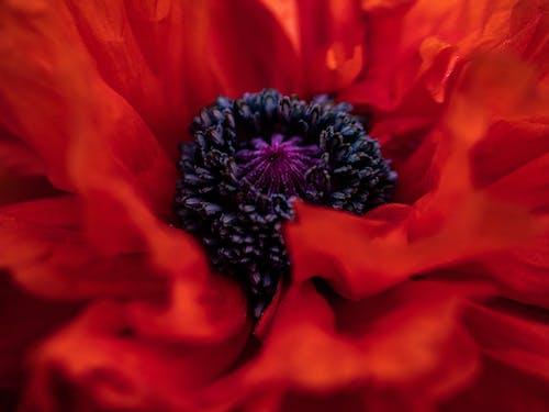 Ảnh lưu trữ miễn phí về anh túc, cận cảnh, cánh hoa, đẹp