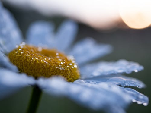 Free stock photo of daisy, flower, sunrise, water droplet
