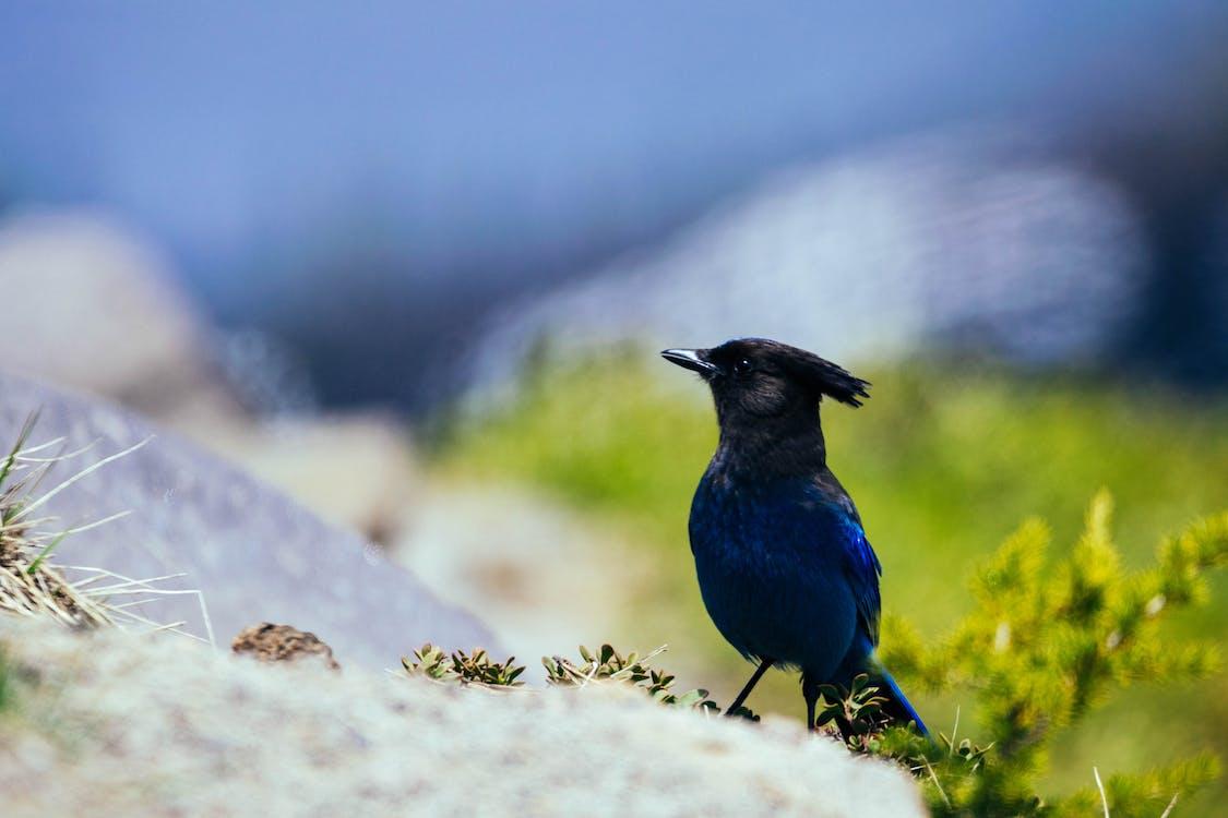 Close-Up Photo of Blue Jay