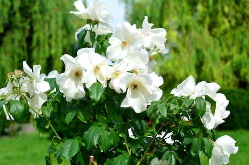 Бесплатное стоковое фото с куст, природа, сад, цветы
