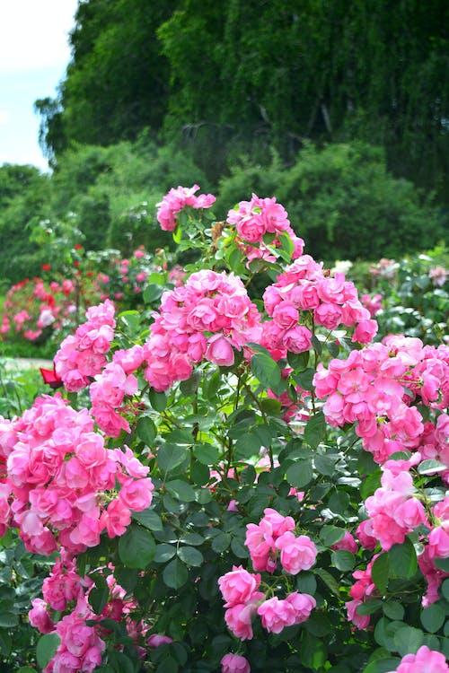 Бесплатное стоковое фото с куст, природа, розы, сад
