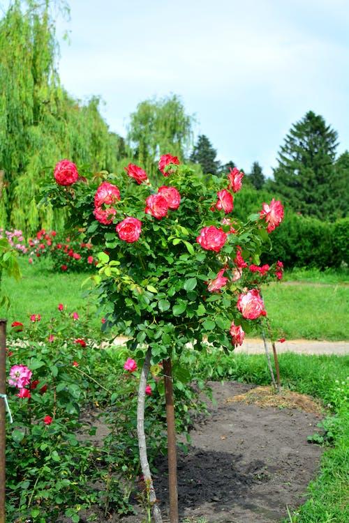 Бесплатное стоковое фото с красные розы, куст, природа, розы