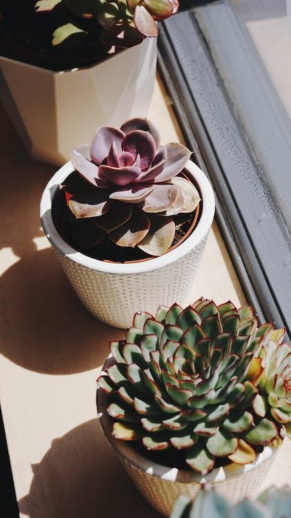 cacti, nature, succulent