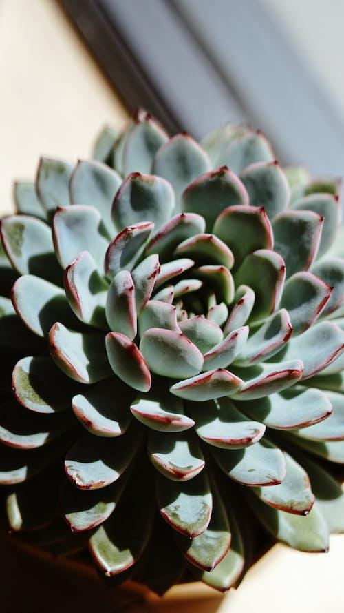 Immagine gratuita di foglie, pianta grassa, piante da appartamento, primo piano