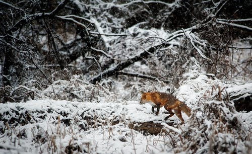 Fox on Snow Covered Field in Forest