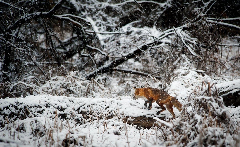 Fox Op Sneeuw Bedekt Veld In Bos