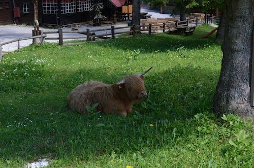 Fotobanka sbezplatnými fotkami na tému jar, kopec, krava, škótsky