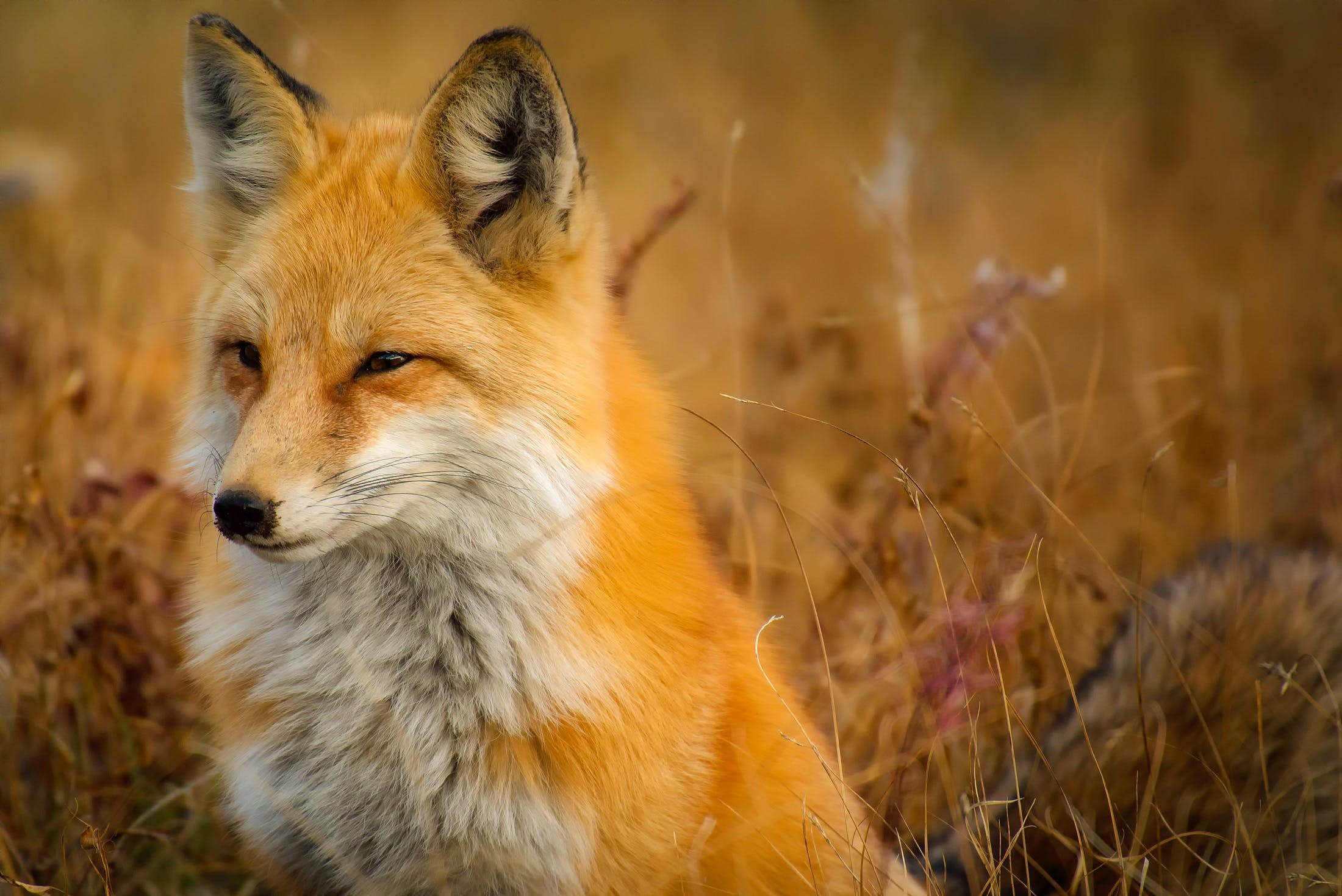 Close-up of Fox on Grass