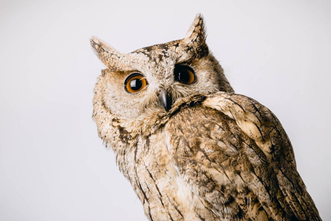 baykuş, gaga, gözler