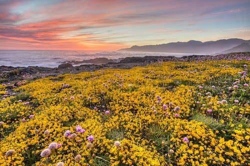 คลังภาพถ่ายฟรี ของ กำลังบาน, ดวงอาทิตย์, ดอกไม้, ตะวันลับฟ้า