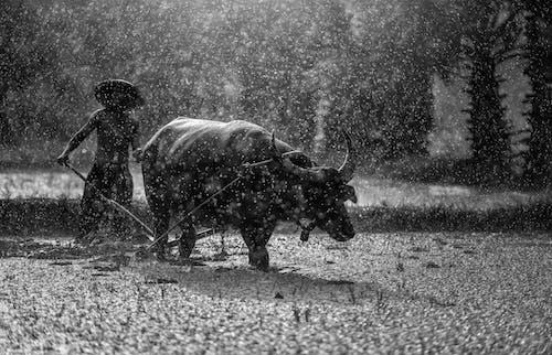 Foto profissional grátis de agricultor, água, bem-estar, búfalo
