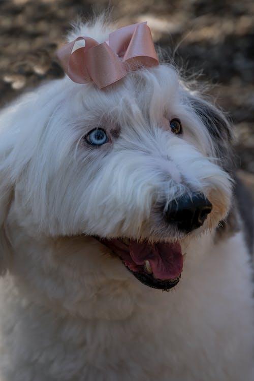 Ảnh lưu trữ miễn phí về chó lớn, chó lông, con chó trắng, loài chó