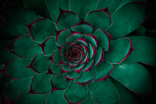 Free stock photo of beautiful flower, black background, cactus, green