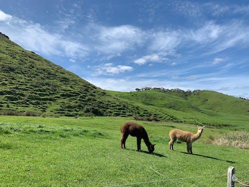 Ảnh lưu trữ miễn phí về chăn nuôi, du lịch, llama, thảo nguyên