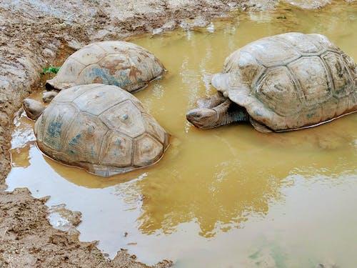 Foto d'estoc gratuïta de 100 anys d'edat, coll de cuir, tortuga