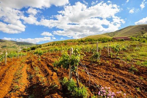 Gratis stockfoto met aarde, druiven, groen, moutains