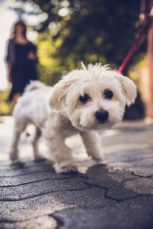 Selective Focus Photography of White Dog Walking Outdoors