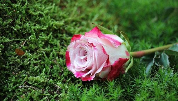 Kostenloses Stock Foto zu gras, blütenblätter, pflanze, blume