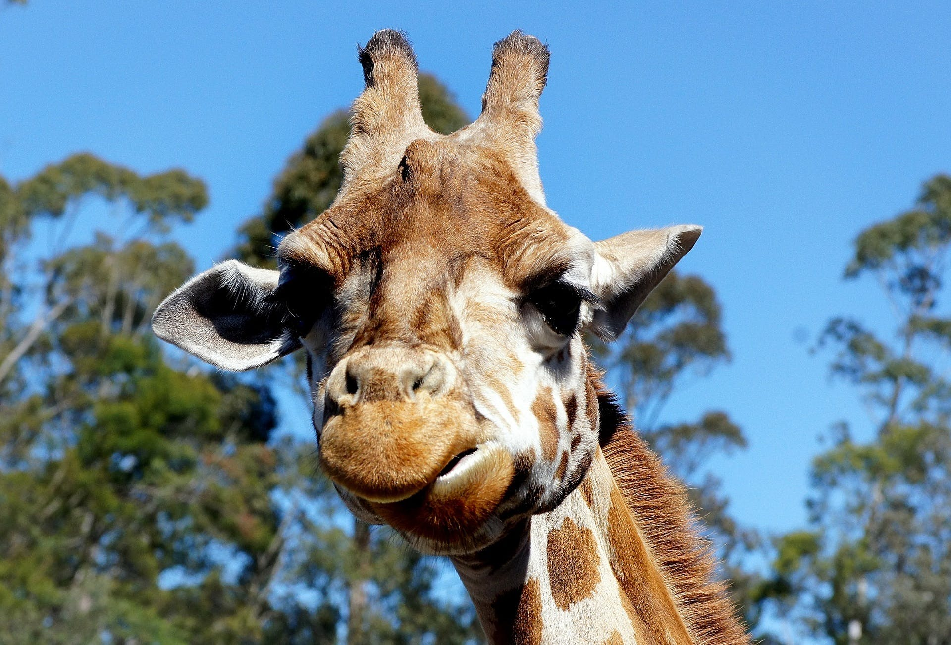 Close-up Portrait of Giraffe Against Trees