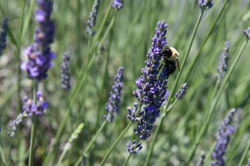 Foto profissional grátis de abelha, agbiopix, agricultura, lavanda