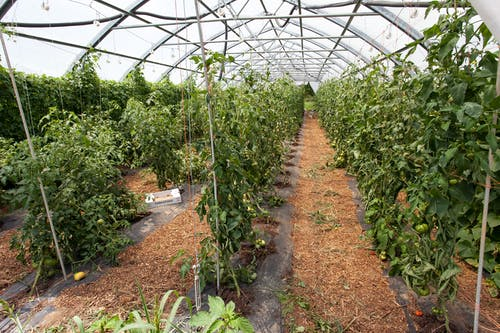 Foto profissional grátis de agbiopix, agricultura, estufa, tomates