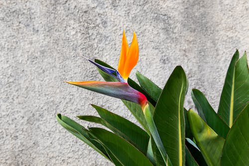 Yellow and Red Birds of Paradise Flower