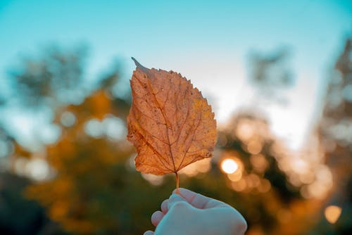 Photo of Person Holding Dry Leaf