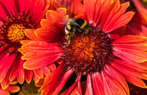 Bee on Red Daisy