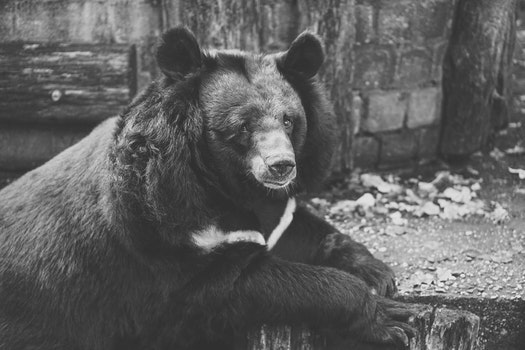 Black and White Photo Of Bear on Wood