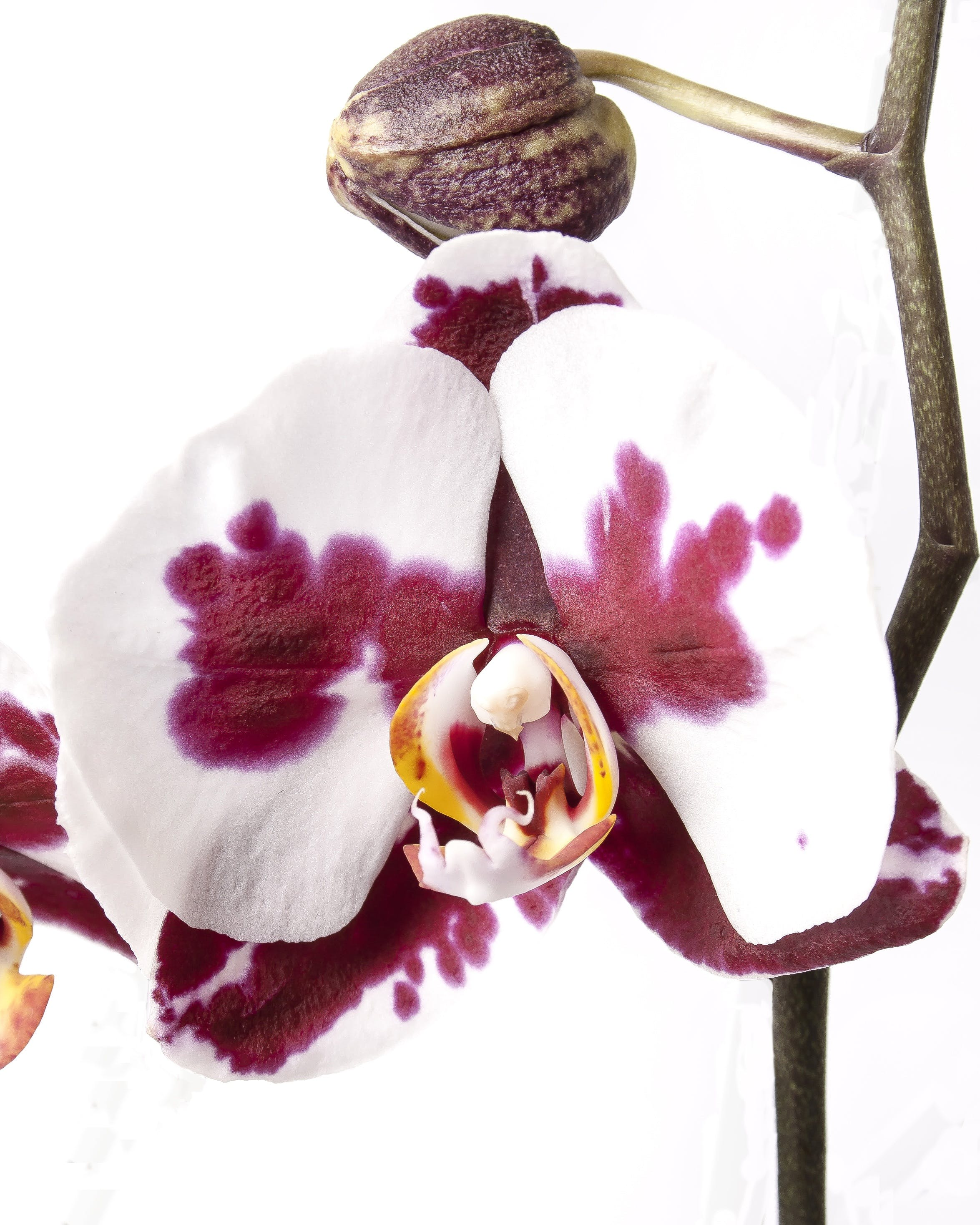 Close-up of Orchids