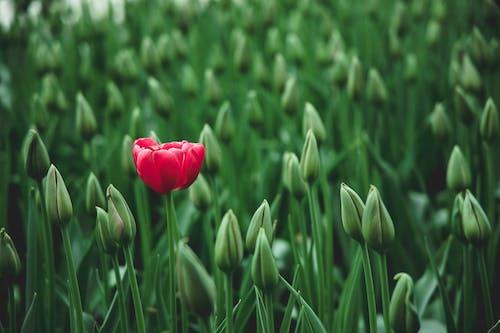 Immagine gratuita di bocciolo, botanico, bulbi di tulipano, campo