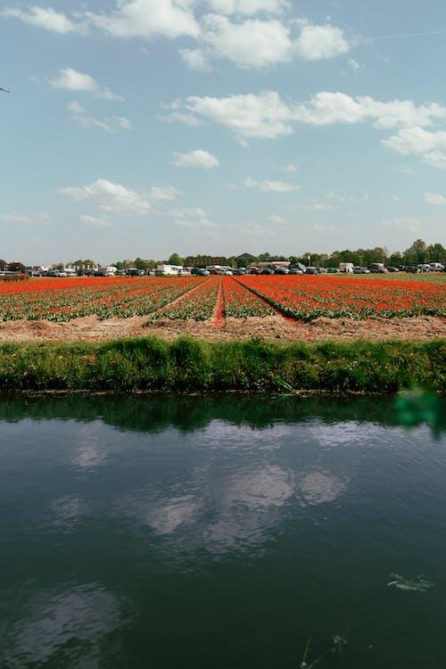 Gratis stockfoto met akkerland, bloemen, bloemenveld, boerderij