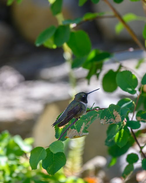 Free stock photo of hummingbird, perched