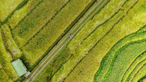 Δωρεάν στοκ φωτογραφιών με αγρόκτημα, αγροτικός, αναποφλοίωτο ρύζι, από πάνω