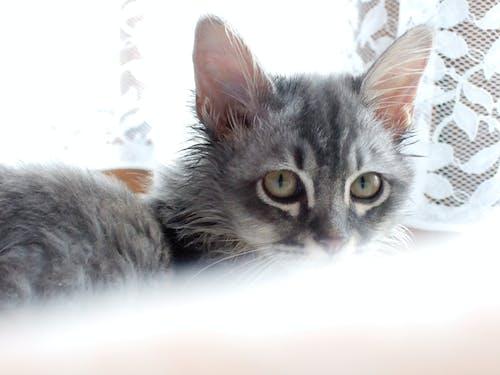 귀여운, 눈, 새끼 고양이, 아름다운 눈의 무료 스톡 사진