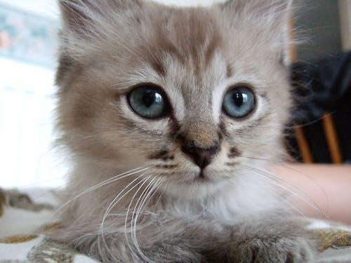 고양이, 귀여운, 눈, 반려동물의 무료 스톡 사진