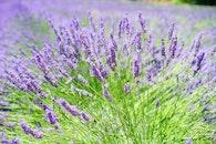field, flowers, blue