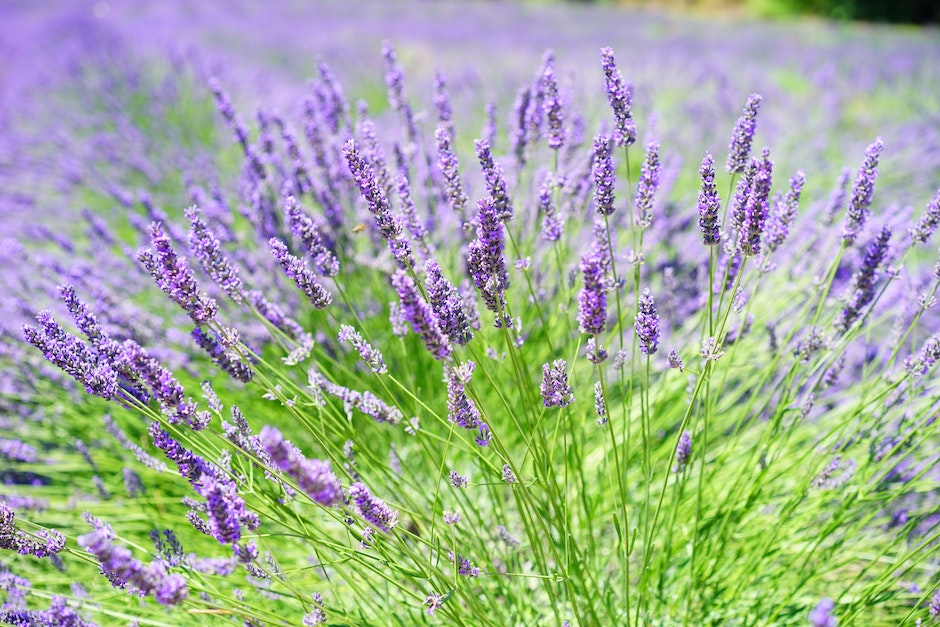 Close-up Photo of Lavender Growing on Field