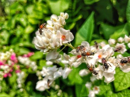 Gratis lagerfoto af bi, honning, honningbi, honningbi på hvid blomst