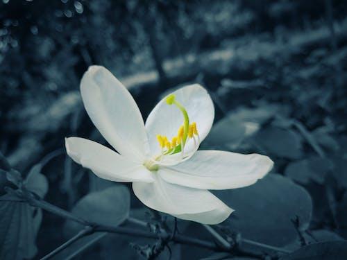 Gratis lagerfoto af enkeltblomst, hvid blomst, hvid blomst om natten, nat