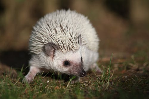 White Hedgehog in Grass