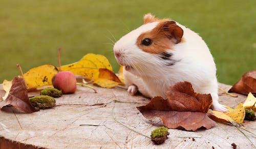 Foto d'estoc gratuïta de adorable, animal, bufó, conill porquí