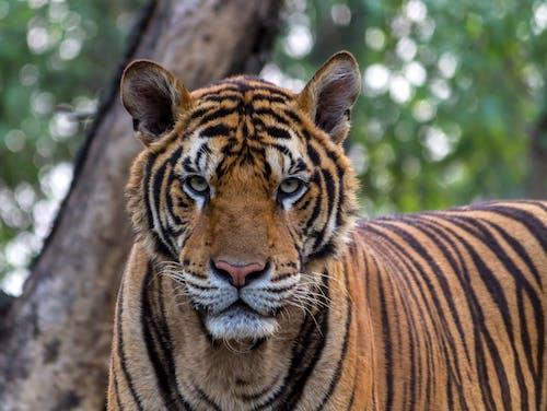Kostnadsfri bild av djungel, djur, djurfotografi, kattdjur