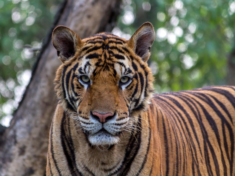 Tiger Beside Tree 183 Free Stock Photo